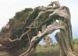 已成精!古树竟自己走了150米